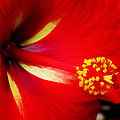 Tropical Hibiscus - Starry Wind 04a by Pamela Critchlow