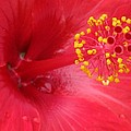 Tropical Hibiscus - Trinidad Wind 02 by Pamela Critchlow
