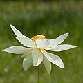 Tropical Lotus Flower by Kim Hojnacki