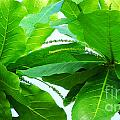 Tropical Noni Leaves by Roselynne Broussard