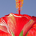 Tropical Red Hibiscus Flower Against Blue Sky  by Taiche Acrylic Art