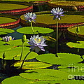 Tropical Water Lily Flowers And Pads by Byron Varvarigos