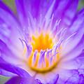 Tropical Waterlily Glow by Priya Ghose