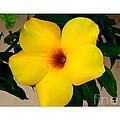 Tropical Yellow Blossom by Dora Sofia Caputo Photographic Design and Fine Art