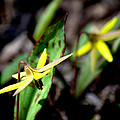 Trout Lilies by Urbanmoon Photography