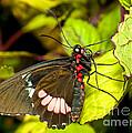 True Cattleheart Butterfly by Millard H. Sharp