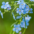 True Forget-me-not by Rich Leighton