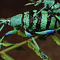 True Weevil Couple Mating Papua New by Mark Moffett