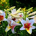 Trumpet Lilies by Kathryn Meyer