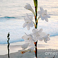 White Trumpet-shaped Flowers At Dana Point Beach California  by Conni Schaftenaar