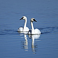 Trumpeter Swan Couple by Michael Waller
