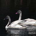 Trumpeter Swan Cygnets by Sharon Talson