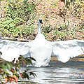 Trumpeter Swan by John Telfer