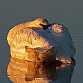 Trumpeter Swan On Swan Lake by Fred Stearns