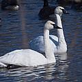 Trumpeter Swan Pair by Deb Fedeler