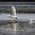 Trumpeter Swan Walking On Water by Randall Nyhof