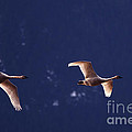 Trumpeter Swans In-flight by Sharon Talson