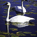 Trumpeter Swans In The Blue by Joe Liba