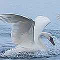 Trumpeter Swans Touchdown by Patti Deters