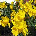 Trumpeters Of Spring by Barbara McDevitt