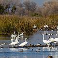 Trunda Swans  Mixed Ducks by Brian Williamson