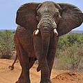 Tsavo Elephant by Tony Beck