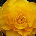 Tuberous Begonia by Deborah Fay