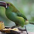 Tucan Eating by Jason Dunn