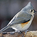 Tufted Titmouse Animal Portrait by A Gurmankin