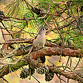 Tufted Titmouse by Deena Stoddard
