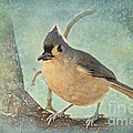 Tufted Titmouse IIi by Debbie Portwood