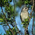 Tufted Titmouse by Jane Luxton