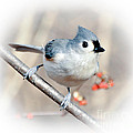 Tufted Titmouse Love  by Kerri Farley