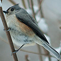 Tufted Titmouse Male by Craig Hosterman