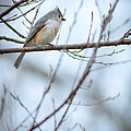 Tufted Titmouse by Melinda Fawver