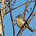 Tufted Titmouse by MTBobbins Photography