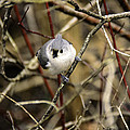 Tufted Titmouse On The Watch by LeeAnn McLaneGoetz McLaneGoetzStudioLLCcom