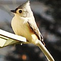 Tufted Titmouse by Stacey Pollio