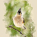Tufted Titmouse - Watercolor Art by Christina Rollo