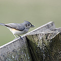 Tufted Titmouse With Seed by Heather Applegate