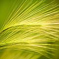 Tufts Of Ornamental Grass by  Onyonet  Photo Studios