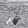 Tule Elk In Black And White  by Priya Ghose