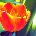 Tulip 2 by Pamela Cooper