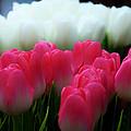 Tulip 7 by Ingrid Smith-Johnsen