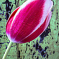 Tulip Against Green Wall by Garry Gay
