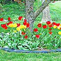 Tulip Bed by Aimee L Maher ALM GALLERY