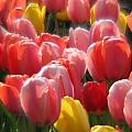 Tulip Bouquet  by Sue  Thomson