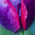Tulip Bright  by Diane Fifield