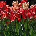 Tulip Bunch by David Resnikoff
