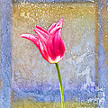 Tulip by David Arment